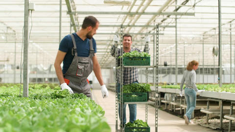 Farm worker in a greenhouse in process of cultivation organic green salad Footage