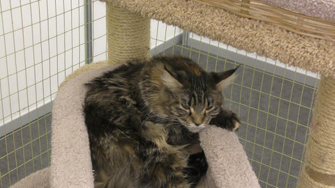 Kitten breed maine coon Live Action