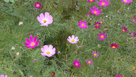 Flower Kosmeya or flower cosmos Footage