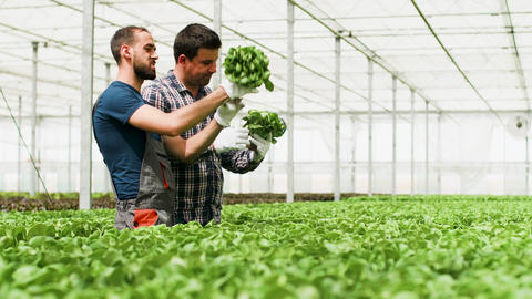Farm workers working in bright sunlight in a greenhouse Footage