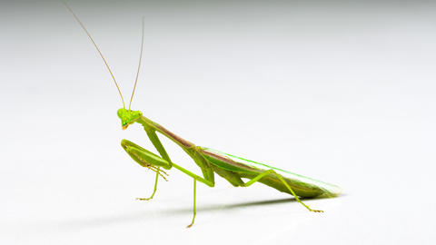 Macro shot of a Praying Mantis on a white background Live Action