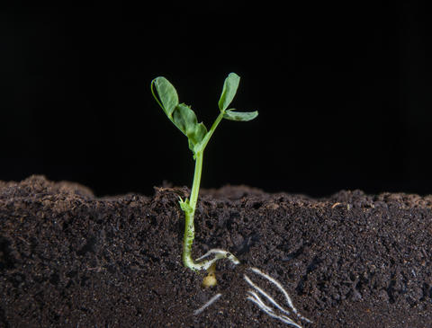 From small peas grow green shoots of plants, visible underground roots of plants, new leaves, Live Action