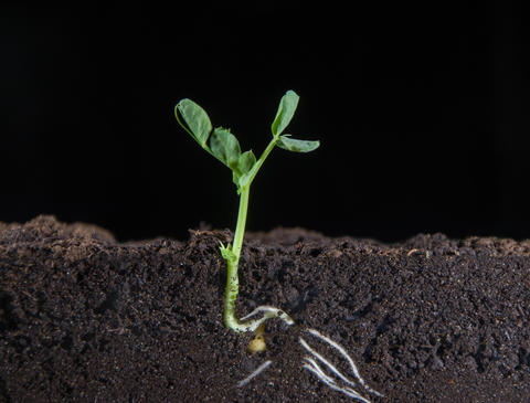 From small peas grow green shoots of plants, visible... Stock Video Footage