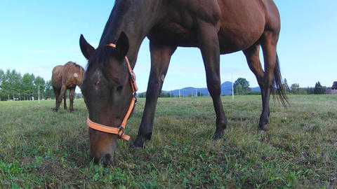 Horse grazing. Brown horse on farm pasture. Detail of... Stock Video Footage