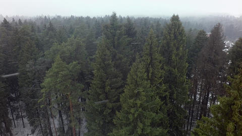 A vertical inspection of pines and spruces in a snowfall Footage