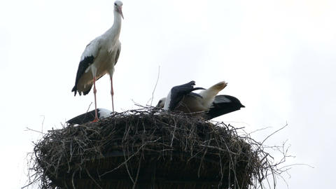 Mother carries her baby storks Live Action