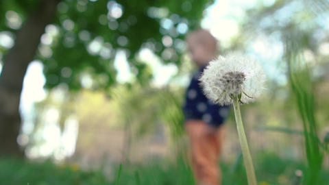 Romantic dandelion with white blowballs and a strolling baby in slow motion Footage