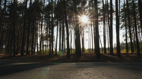 Sun rays in pine forest Footage