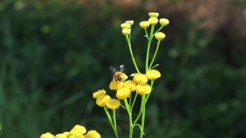 Close up view of honeybee busy in flower in spring field yellow Tansy flower Footage