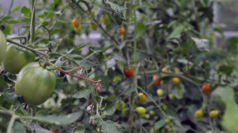 Green and red tomato growing on vegetable bed close up. Vegetable growing on soil garden bed in Footage