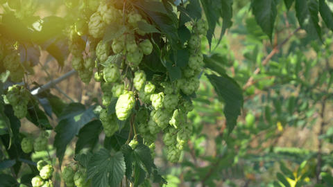 Scenic sunset with sunflare and rays of green hop humulus in slow motion Live Action