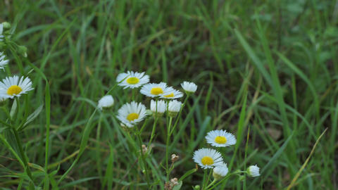 Chamomile flowers field close up with green grass. Daisy flowers. Beautiful Live Action