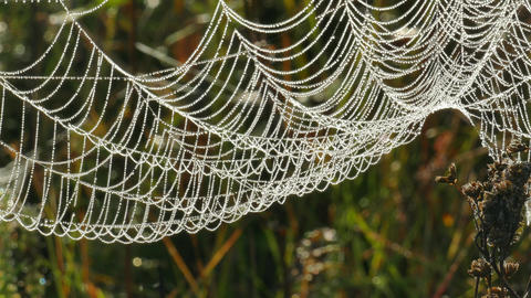 Spider web with dew drops in the branches of dry grass Live Action