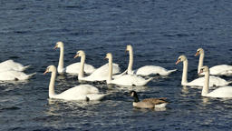 A flock of swans on the lake Footage