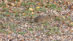 Mouse on the ground looking for food Footage
