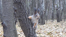 Squirrel sitting on a tree trunk and has a nut Footage