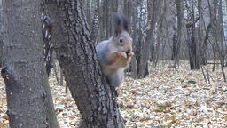 Squirrel sitting on a tree trunk and has a nut Stock Video Footage