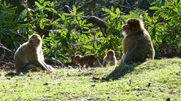 Monkey family on a glade Footage