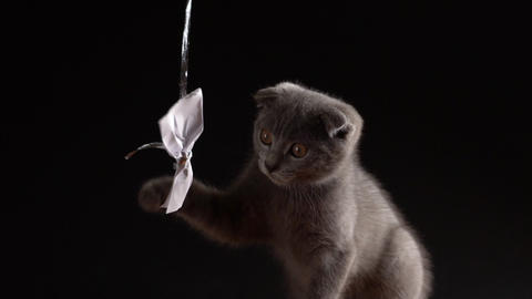 Small gray kitten scottish fold is playing with a paper bow. Slow motion 120fps Live Action