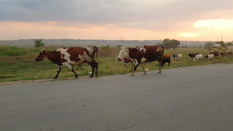 A herd of bloodstock domestic cows home to the barn after pasture on asphalt Live Action