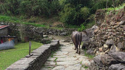 Cow walking mountain stones rocks road. Animals back view HD video Footage