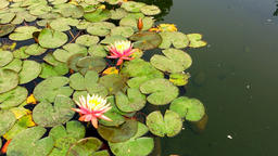Water lilies Nymphaea HD nature video background. Flower leaves surface Footage