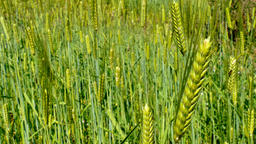 Wheat spikes moves from the wind. Nature background 4k video Footage