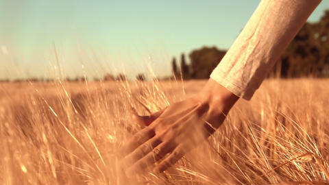b roll farmer touching yellow grain at harvest time Footage