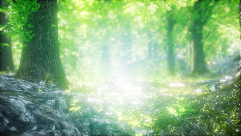 Forest of Beech Trees illuminated by Sunbeams Footage