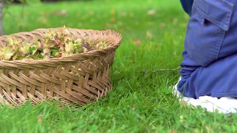 Hand of farmer picking hazelnuts. Hazelnuts harvesting. picking hazelnuts in a Live Action