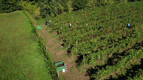 Harvesting grapevine in vineyard, aerial view of winery estate in Europe Live Action