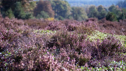 Dutch Moor Field Slowly Moves In A Gentle Breeze Looping Video Backdrop Live Action