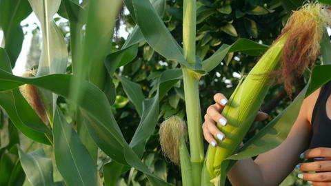 Corn on the stalk in the field. Corn on the stalk in the field before harvest Footage