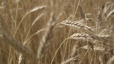 Golden cereal crop. Harvest time Live Action
