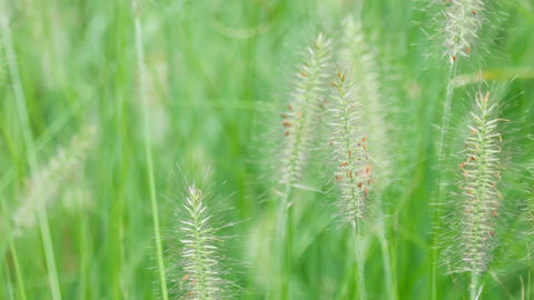 Spikelets of grass swaying in the wind Footage