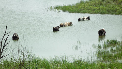 herd of cows grazing near pond Footage