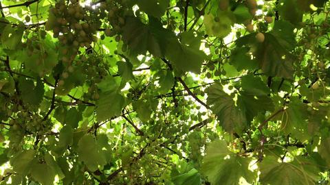 Ripe Vineyard Grapes. Grapes Vineyard Sunset. Ripe Grapes On Vine For Making Live Action