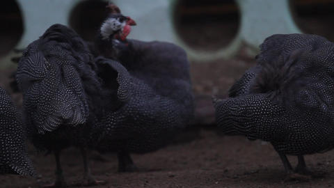 Helmeted guineafowl birds Live Action