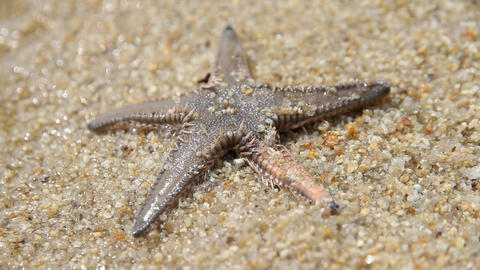 Starfish in sea Live Action
