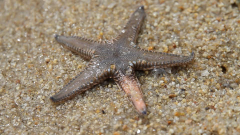 Live Starfish in sand beaches of aegean sea Greece Live Action