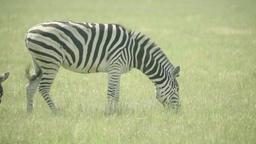 Zebra (zebras) in the field. Slow motion Archivo