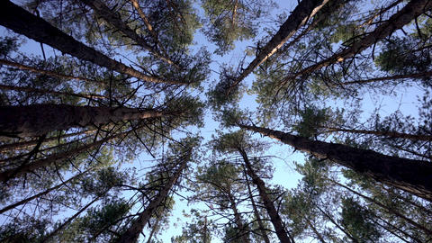 View of the sky among the fir trees. Bottom view in the coniferous forest Footage