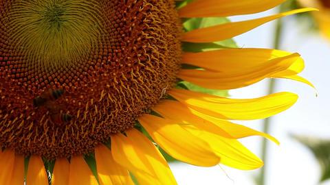 Sonia・Sunflower#3ソニア向日葵#3 Footage