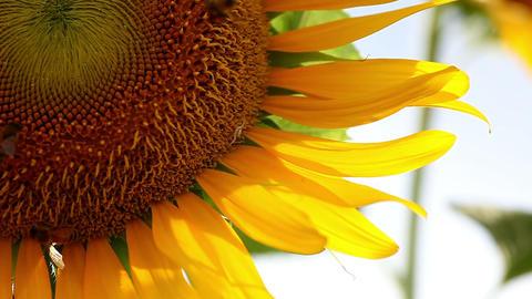 Sonia・Sunflower#3ソニア向日葵#3 Stock Video Footage