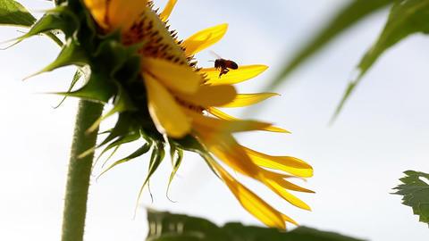 SoniaSunflower#7ソニア向日葵#7 Stock Video Footage