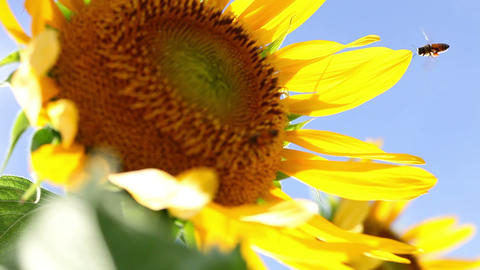 SoniaSunflower#10ソニア向日葵#10 Stock Video Footage