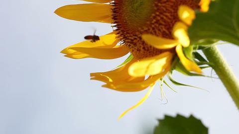 SoniaSunflower#14ソニア向日葵#14 Stock Video Footage