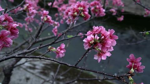 サクラ・ヤエ#1sakura・yae#1桜 Footage