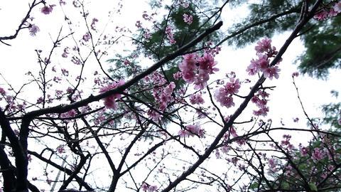 サクラ・ヤエ#3sakura・yae#3桜 Stock Video Footage