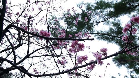 サクラ・ヤエ#3sakura・yae#3桜 Footage
